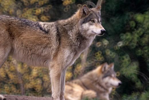 Stock Photo: 1596-3133 Gray wolf (Canis lupus), Oregon Zoo, Washington Park, Portland, Oregon, USA
