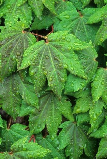Stock Photo: 1596-3166 Dew drops on Vine Maple leaves, Clear Lake, Willamette National Forest, Oregon, USA