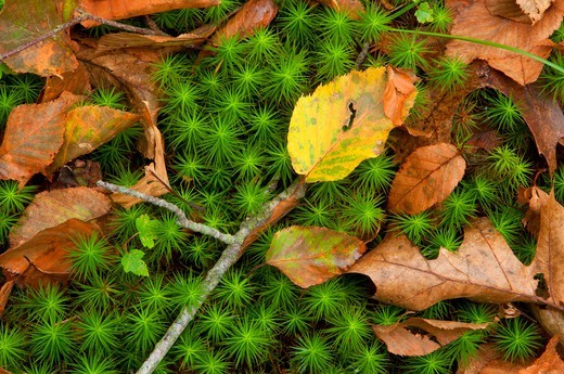 Close-up of club moss, Selden Neck Preserve, New London County, Connecticut, USA : Stock Photo