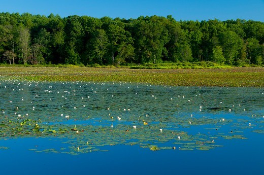 Stock Photo: 1596-3292 Pond in a forest, Great Pond, Great Pond State Forest, Simsbury, Hartford County, Connecticut, USA