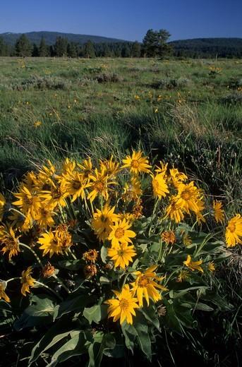 USA, Oregon, Pilcher Creek Park, Balsamroot (Balsamorhiza deltoidea) : Stock Photo