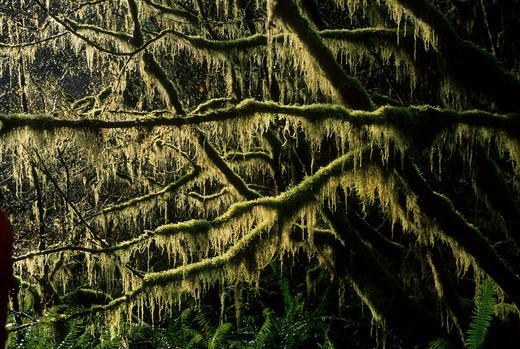 Stock Photo: 1596-3382 USA, Oregon, Salem District Bureau of Land Management, Valley of the Giants Outstanding Natural Area, Vine maple overgrown with lichen