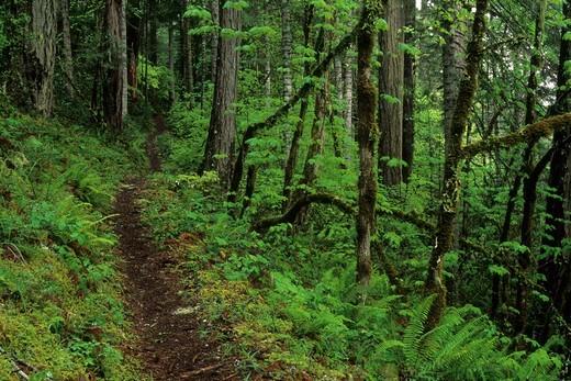 Stock Photo: 1596-3415 USA, Oregon, Ancient forest with sword fern along North Umpqua Trail, North Umpqua Wild and Scenic River, Umpqua National Forest