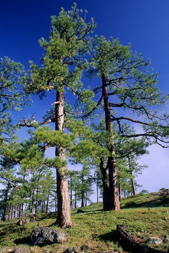 Stock Photo: 1596-3432 USA, Oregon, Jeffrey pine in Whetstone Butte area, Kalmiopsis Wilderness, Siskiyou National Forest