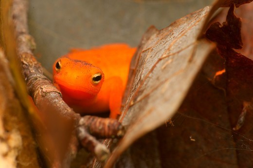USA, Connecticut, Tunxis State Forest, Red eft among autumn leaves : Stock Photo