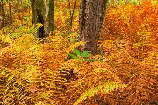USA, Connecticut, Great Pond State Forest, Forest fern : Stock Photo