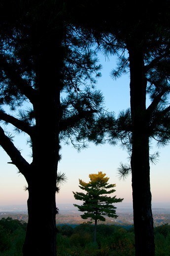 USA, Connecticut, Manchester, Case Mountain Recreation Area, Silhouettes of pine trees : Stock Photo
