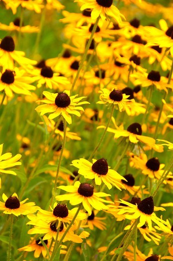 Stock Photo: 1596-3512 USA, Delaware, Newark, Iron Hill Museum, Black-eyed Susans growing in meadow