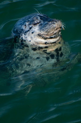 Stock Photo: 1596-3546 Harbor seal (Phoca vitulina) in the sea, Charleston, Oregon, USA
