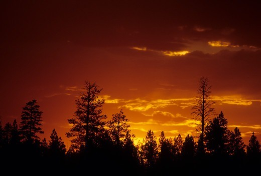 Stock Photo: 1596-3558 Silhouette of trees at dusk, OCE Woods Line State Park, Oregon, USA