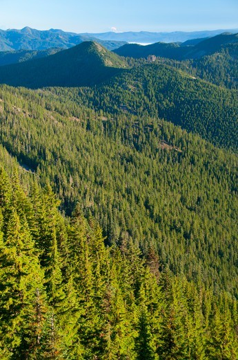 Stock Photo: 1596-3579 Trees in a forest on mountain, Battle Creek Forest, Bull Of The Woods Wilderness, Mt Hood National Forest, Oregon, USA