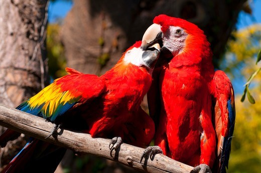 Stock Photo: 1596-3592 Northern Scarlet Macaw (Ara macao cyanoptera) pair perching on a branch, San Diego Zoo, Balboa Park, San Diego, California, USA