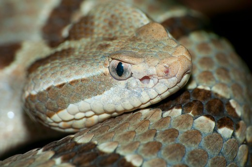 Close-up of a Tamaulipan Rock rattlesnake (Crotalus lepidus morulus), San Diego Zoo, Balboa Park, San Diego, California, USA : Stock Photo