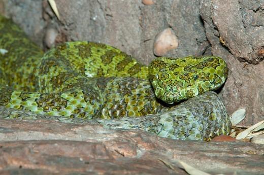 Close-up of a Mang Mountain Pit Viper (Trimeresurus jerdonii), San Diego Zoo, Balboa Park, San Diego, California, USA : Stock Photo
