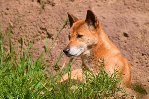 New Guinea Singing dog (Canis hallstromi), San Diego Zoo, Balboa Park, San Diego, California, USA : Stock Photo