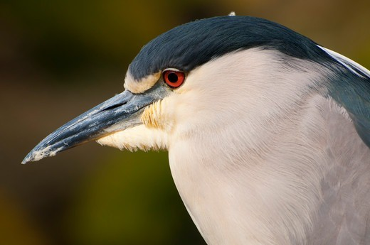 Stock Photo: 1596-3625 Close-up of a Black Crowned Night Heron (Nycticorax nycticorax), San Diego Zoo Safari Park, San Diego, California, USA