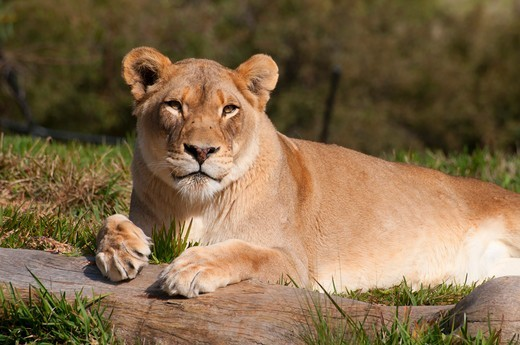 Stock Photo: 1596-3627 Lion (Panthera leo) resting, San Diego Zoo Safari Park, San Diego, California, USA