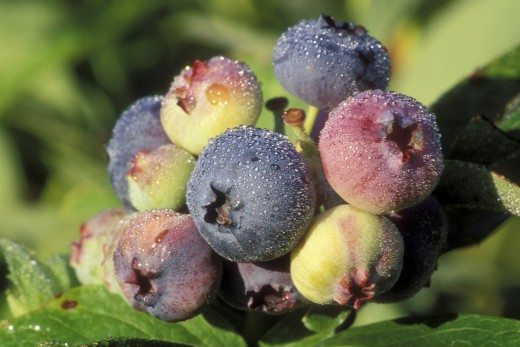 Close-up of blueberries on a plant : Stock Photo