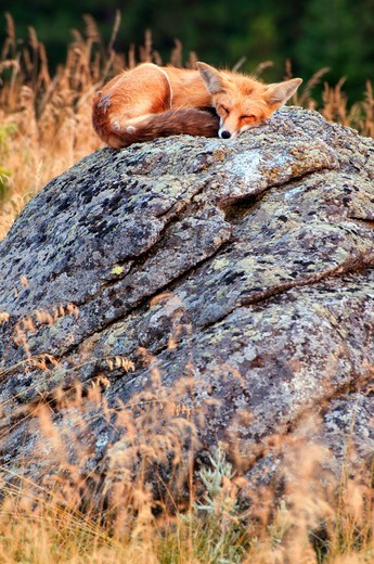 Stock Photo: 1596-3757 USA, Oregon, Iwetemlaykin State Park, Hells Canyon National Scenic Byway, Red fox (Vulpes vulpes)