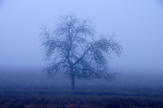 Stock Photo: 1596-3829 Oak tree in fog, Douglas County, Oregon, USA