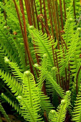 Deer fern (Blechnum spicant) along Gnat Creek Trail, Clatsop State Forest, Oregon, USA : Stock Photo