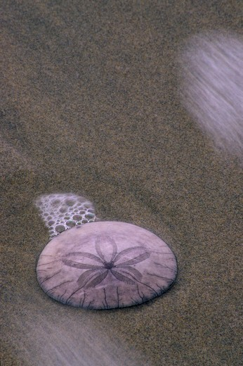 Common Sand Dollar (Echinarachnius parma) on the beach, Crescent Beach, Ecola State Park, Lewis and Clark National and State Historical Parks, Oregon, USA : Stock Photo