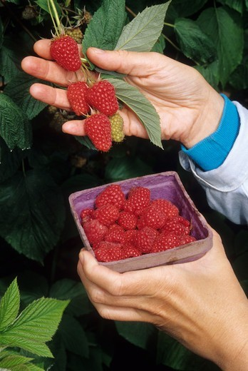 Close-up of a person's hands with raspberries, U-Pick Farm, Marion County, Oregon, USA : Stock Photo