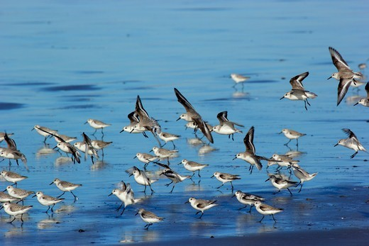 USA, Oregon, Tillamook County, Bayocean Peninsula, Shorebirds : Stock Photo