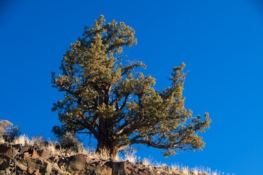 Stock Photo: 1596-4501 USA, Oregon, Lower Crooked River National Backcountry Byway, Juniper tree