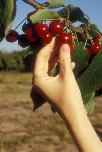 Close-up of a woman's hand picking Bing cherries from a tree : Stock Photo