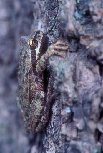 Stock Photo: 1596-901 Close-up of a tree frog