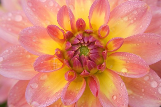 Close-up of a Miss Molly Dahlia, Swan Island Dahlias, Clackamas County, Oregon, USA : Stock Photo