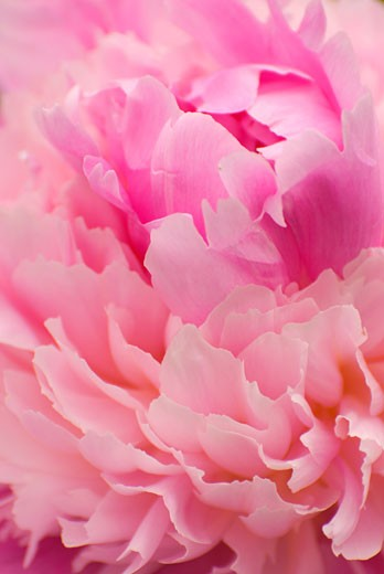 Stock Photo: 1596R-1928 Close-up of a Peony flower, Adelman Peony Gardens, Brooks, Marion County, Oregon, USA