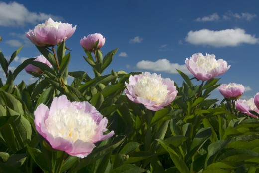 Couronne d'Or Peonies in a garden, Adelman Peony Gardens, Brooks, Marion County, Oregon, USA : Stock Photo