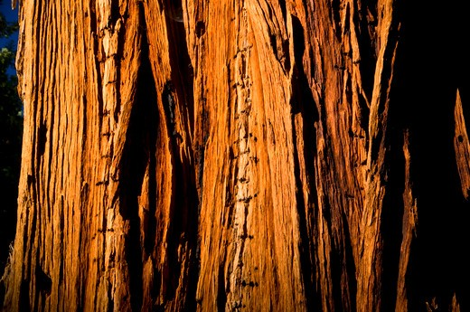 Incense cedar tree bark, Long Meadow Grove, Giant Sequoia National Monument, Sierra Nevada, California, USA : Stock Photo