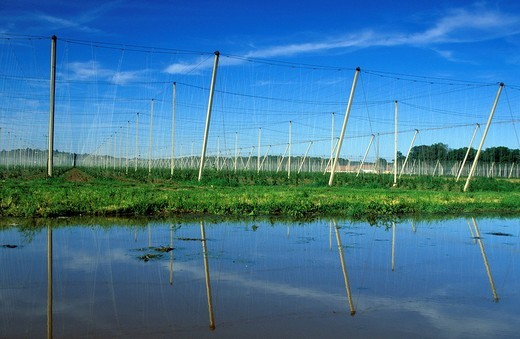 Stock Photo: 1597-100144 Slovenia, hop cultivation, May, reflection, Dornav