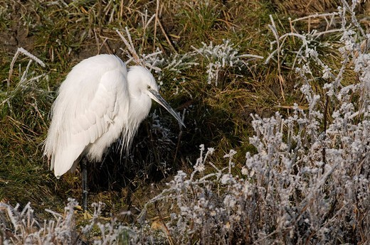 Little Egret, Egretta garzetta, bird, flight, white, egret, floor, grassland, meadow, freezing, winter, nature, animal, freeze, birds : Stock Photo
