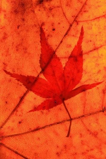 Fächer_Ahorn, Japanischer Ahorn, Acer palmatum, Zürcher Oberland, Zürich, Schweiz : Stock Photo