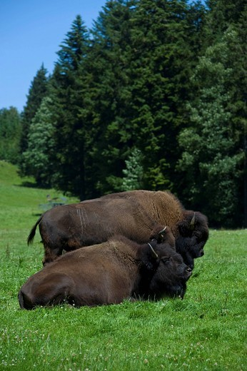 Switzerland, Juraparc, bisons, Vaud, animals, animal park, Le Pont_Vallorbe, nature, wood, forest, pasture, willow, wild bovine : Stock Photo
