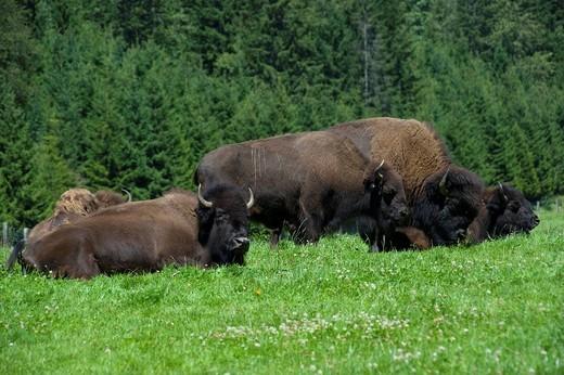 Switzerland, Juraparc, bisons, Vaud, animals, animal park, Le Pont_Vallorbe, nature, wood, forest, pasture, willow, wild bovine : Stock Photo
