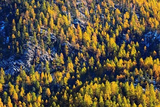 Stock Photo: 1597-104572 Alps, cutting, part, tree, mountain, mountains, flora, trees, detail, flora, mountains, autumn, autumn colors, autumn wood, Indi