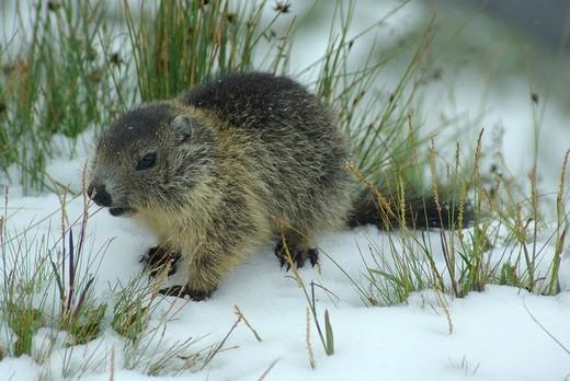 Austria, Kaernten, mammal, alps animal, marmot, squirrel, rodent, earthwork, alps, pup : Stock Photo