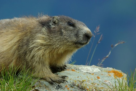 Austria, Kaernten, mammal, alps animal, marmot, squirrel, rodent, earthwork, alps : Stock Photo