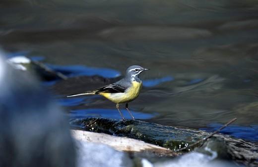Grey Wagtail, Motacilla cinerea, Motacillidae, at the Ticino river, Ticino, Switzerland, wagtail, bird : Stock Photo