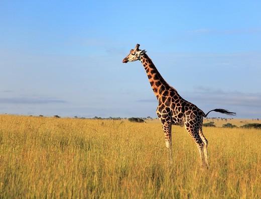Stock Photo: 1597-107795 Africa, African, Travel, Nature, Animal, animals, fauna, Sub_Saharan, East Africa, Scenic, landscape, travel, Wild, wild life, wildlife, ecosystem, safari, trip, Adventure, tropics, tropical, equator, equatorial, Field, Uganda, giraffe, Giraffa camelopard