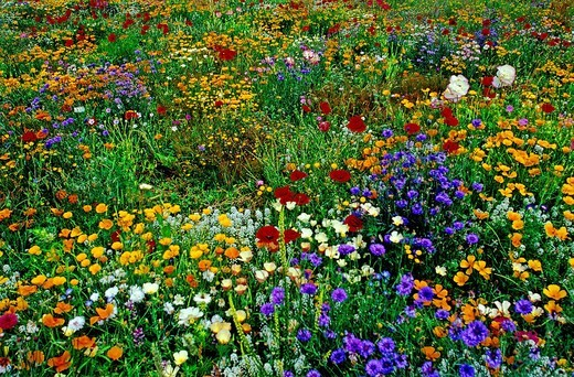 Oriental poppy, Papaver Orientalis, Poppies, Papaveraceae, Field, colorful, colourful, meadow, New Zealand, plant, pla : Stock Photo