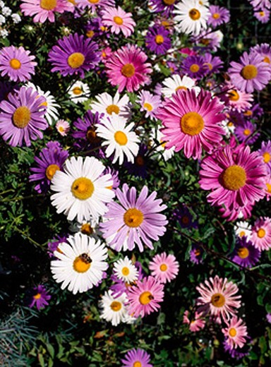 aster, blossoms, flourishes, different colors, : Stock Photo