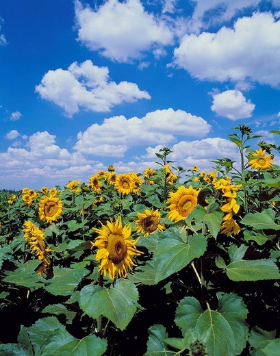 Stock Photo: 1597-110367  sunflowers, field, blossoms, flourishes, yellow, stalk, leaves, clouds, weather,