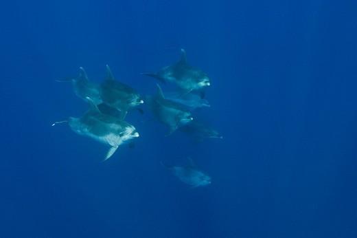 Bottlenose Dolphins, Tursiops truncatus, Portugal, : Stock Photo