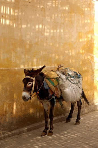 donkey, bepackt, beast of burden, wall, fez el Bali, Souq, Suk, Souk, Medina, market, Old Town, fez, Morocco, Africa, North Africa : Stock Photo